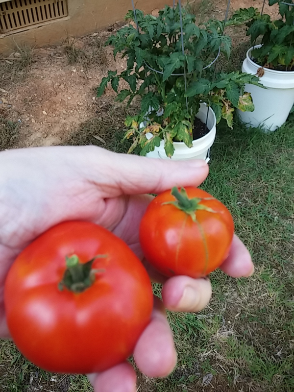 My first picked patio tomatoes
