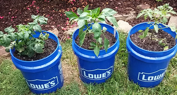 my experience with five gallon bucket gardening i - 5 Gallon Bucket Garden